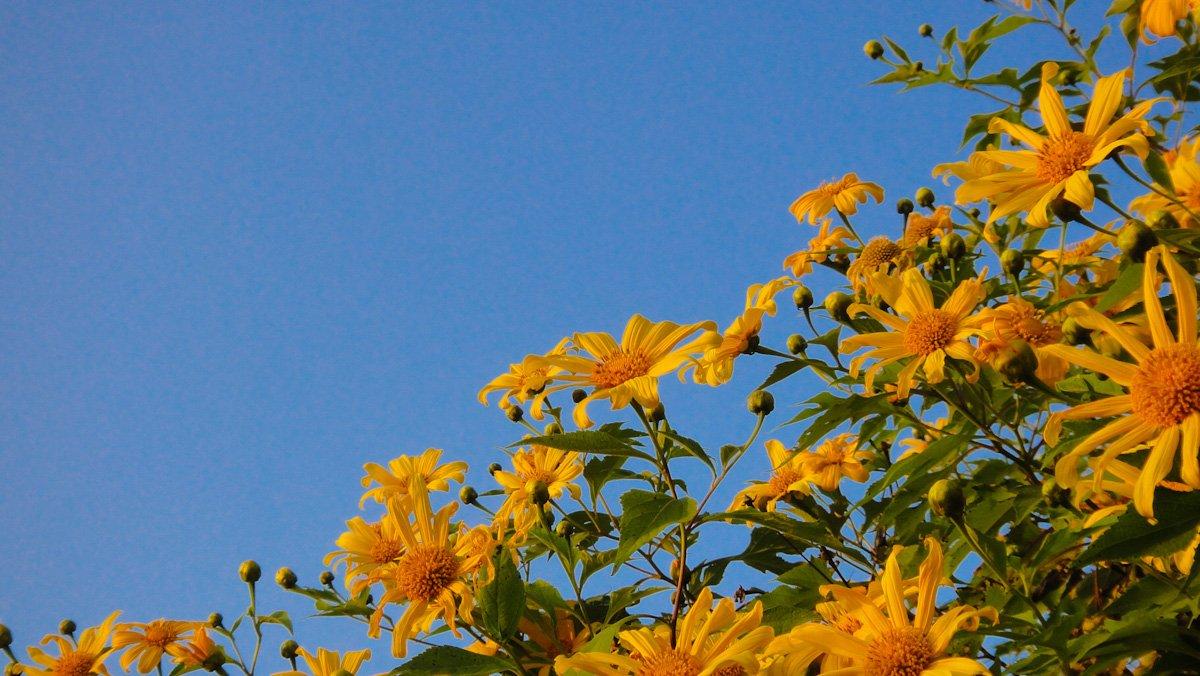 Mexican Sunflower Felder