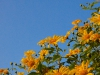 Mexican Sunflower Felder