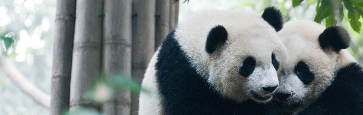 Pandas-19