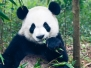 China\'s Pandas