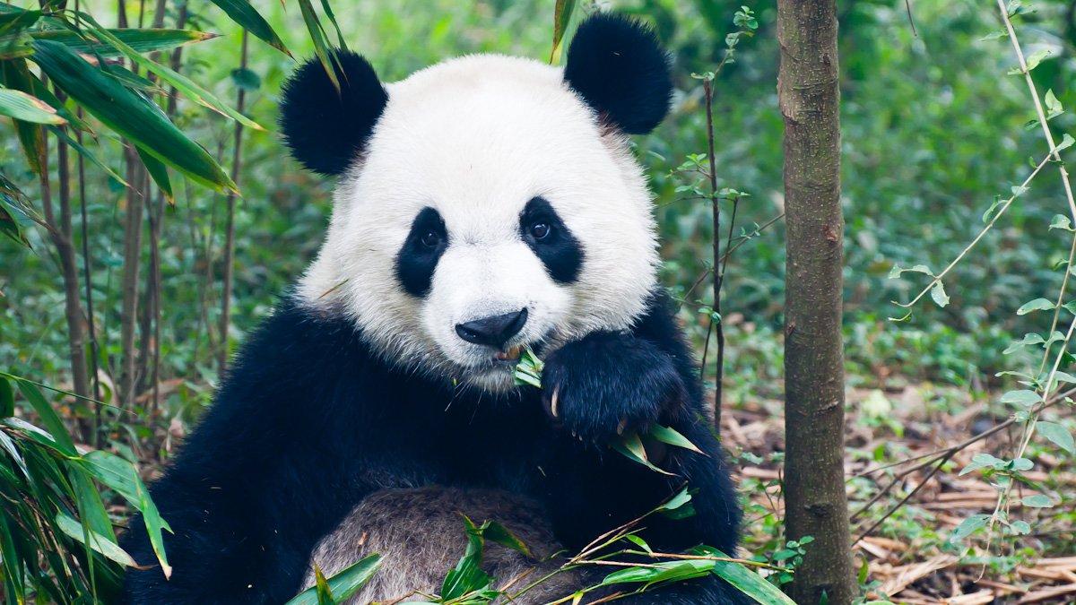 panda-30