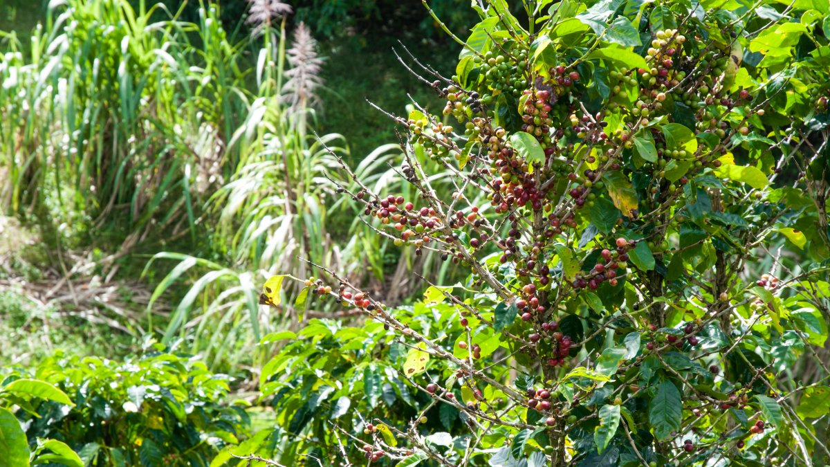 Coffee Costa Rica Highlands