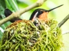 Colibri nesting