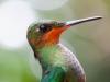 Colibri closeup