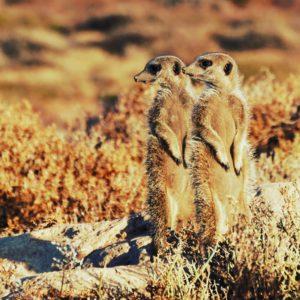 Meercats Oudtshoorn